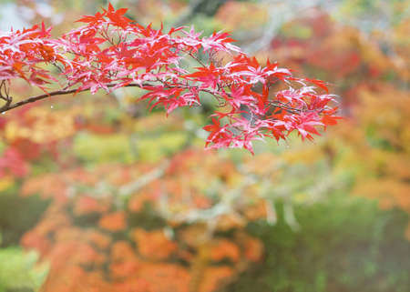 Close up red maple leaves on blurred background in Japanese autumn season.