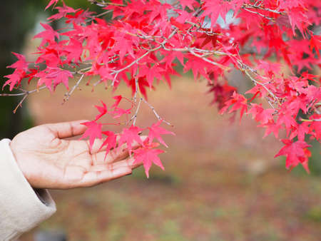Woman hand and red maple leaf over autumn forest blur background. Save environment concept.