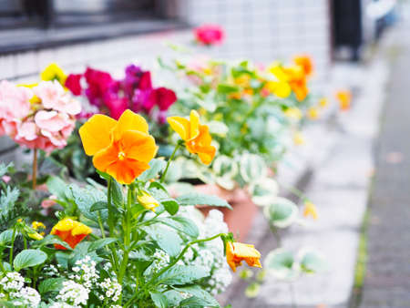 Close up colorful pansy flowers in pots to decorate window shop on the street.