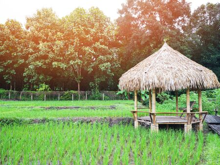 Wooden bamboo shelter with straw roof on rice field with sunlight in the morning. Banque d'images