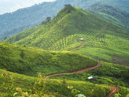 Coffee plantation landscape on top of green mountain and curved rural road in the morning at Doi Suan Ya Luang, Nan province, Thailand.