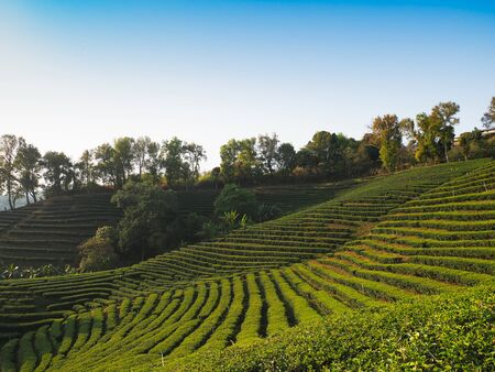 Landscape background of green tea farm on the mountain in the north of Thailand. Banco de Imagens