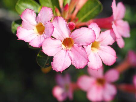 Close up pink flower, Adenium obesum (Desert Rose; Impala Lily; Mock Azalea) and green leaves Standard-Bild