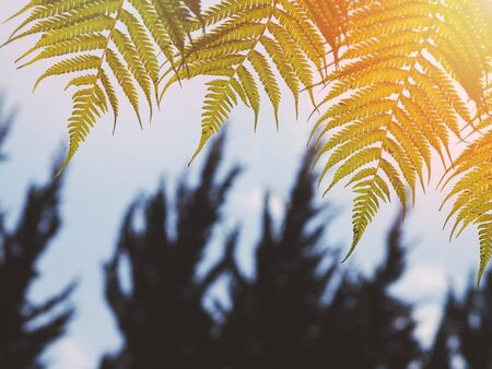 Close up green fern leaves at sunset in the forest. Nature background. Standard-Bild