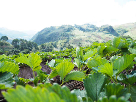 Close up green leaf strawberry plant at plantation farm over mountain landscape background.