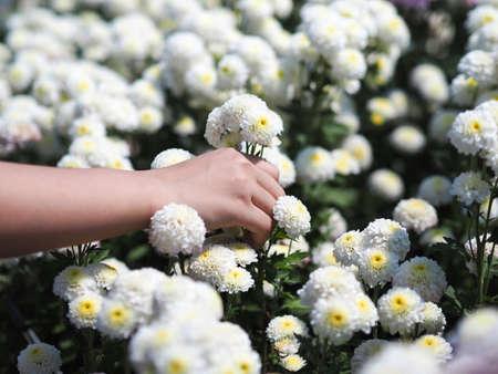 Woman hand holding white Chrysanthemum flowers in bloom at farm. Standard-Bild