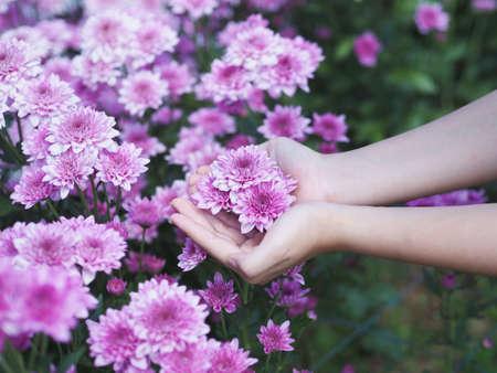 Woman hand holding violet Chrysanthemum flowers in bloom at farm.