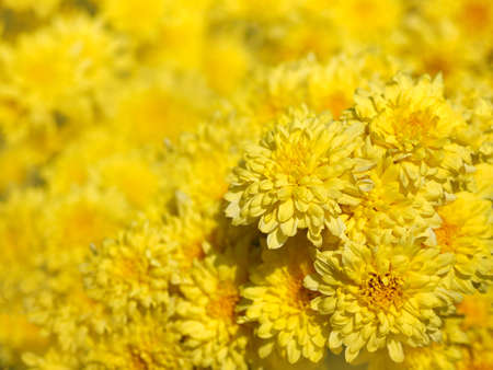 Close up beautiful yellow Chrysanthemum flowers at plantation farm. Natural spring and summer background.