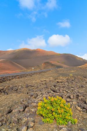 timanfaya: Yellow flowers growing on lava soil in Timanfaya National Park, Lanzarote, Canary Islands, Spain Stock Photo