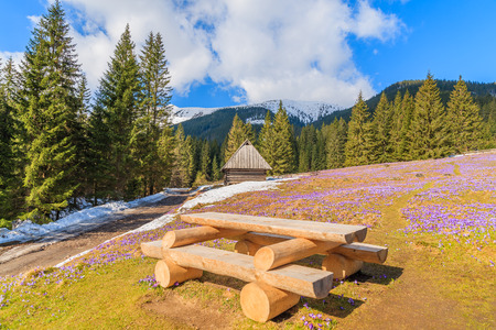 Wooden picnic table on meadow with blooming crocus flowers in Chocholowska valley, Tatra Mountains, Poland