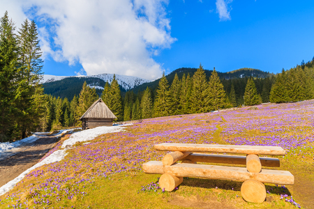 table mountain national park: Wooden picnic table on meadow with blooming crocus flowers in Chocholowska valley, Tatra Mountains, Poland