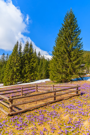 Wooden pen for holding sheep on pasture with blooming crocus flowers in Chocholowska valley, Tatra Mountains, Poland Stock Photo