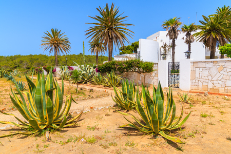 agave: Agave plants growing in front of typical holiday house in Portimao town, Algarve region, Portugal