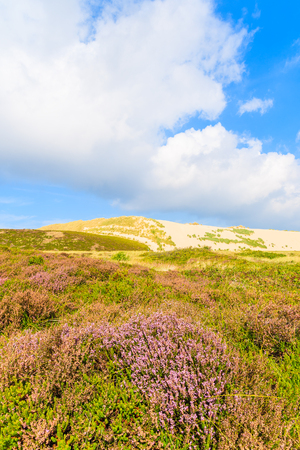 Heather flowers on meadow with sand dune in background, Sylt island, Germany