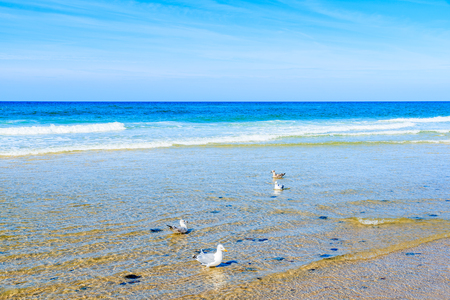 Seagulls in water on Kampen beach, Sylt island, North Sea, Germany