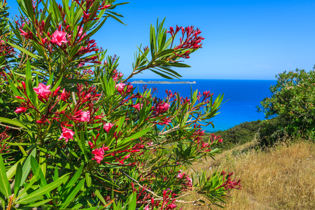 Red flowers on coast of Sardinia island near Costa Rei, Italy