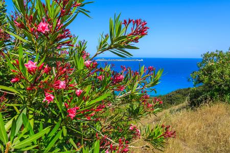 Red flowers on coast of Sardinia island near Costa Rei, Italy