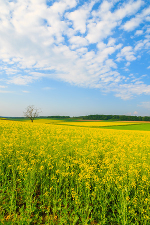Yellow rapeseed flower field and blue sky, Burgenland, southern Austria Stock Photo