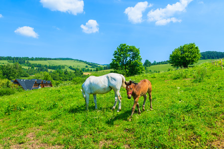 Mother horse and her little foal grazing on green field, Pieniny Mountains, Poland Stock Photo