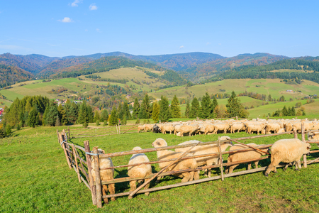 Mountain sheep in holding pen on sunny day, Pieniny Mountains, Poland