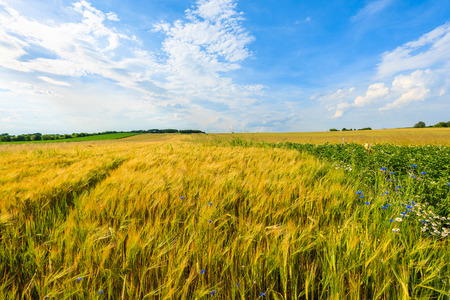 Beautiful golden colour wheat field with white clouds on blue sky in summer landscape near Krakow, Poland Stock Photo