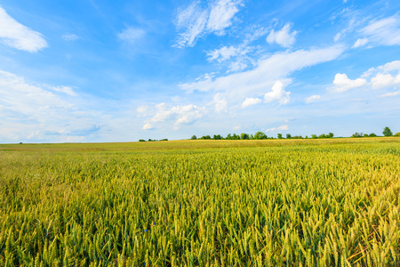 Beautiful wheat field with white clouds on blue sky in summer landscape near Krakow, Poland
