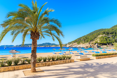 Palm tree on coastal promenade along sandy beach with umbrellas and sunbeds in Cala San Vicente bay on sunny summer day, Ibiza island, Spain