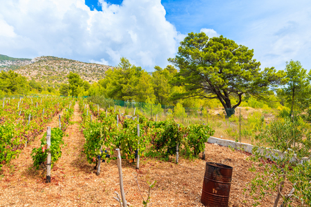 Vineyards in mountain landscape of Brac island near Bol town, Croatia Stock Photo