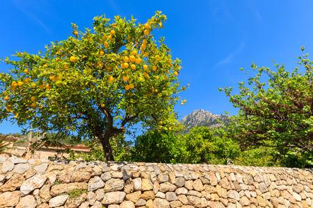 Lemon tree in spring in Deia village, Majorca island, Spain