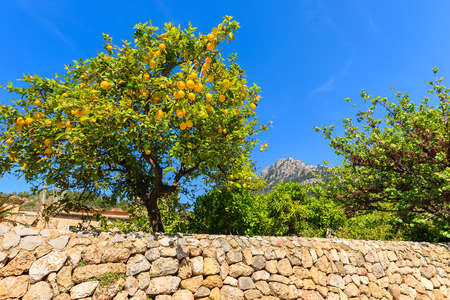Lemon tree in spring in Deia village, Majorca island, Spain 免版税图像 - 93951020