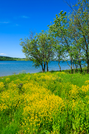 Meadow with rapeseed flowers at Czorsztynskie lake, Poland
