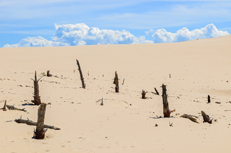 Dry tree trunks on sand dune in Slowinski National Park, Poland