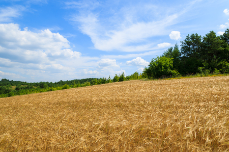 Golden wheat field in summer landscape of Poland