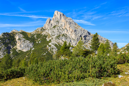 Green pine trees near Falzarego Pass in the Dolomites in autumn, Italy