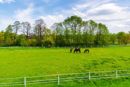Horses grazing on green meadow in spring season near Krakow city, Poland
