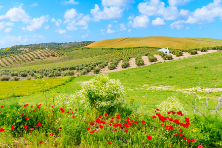 Red poppy flowers in Andalusia countryside landscape, olive groves with wheat fields and beautiful sunny sky with white clouds, Spain 스톡 콘텐츠
