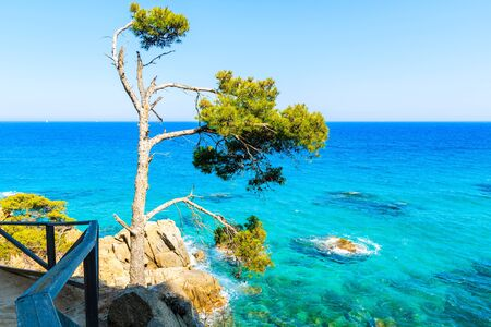 Pine tree on coastal path along beautiful sea at Cap Roig, Costa Brava, Spain Фото со стока