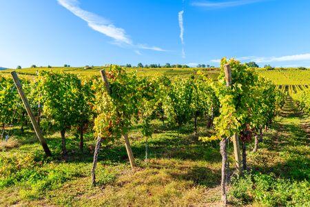Vineyards on Alsatian Wine Route near Riquewihr village, France Standard-Bild - 130816130