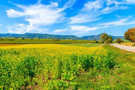 Yellow Rapeseed fields on Alsatian Wine Route near Riquewihr village, France