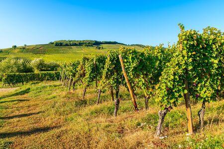Weinberge an der elsässischen Weinstraße in der Nähe des Dorfes Riquewihr, Frankreich