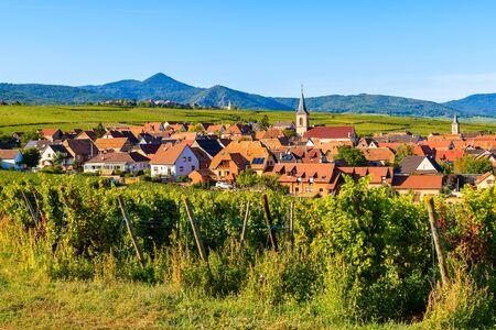 Grapes in vineyards near Beblenheim village, Alsace Wine Route, France