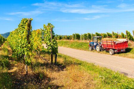Traktor mit Anhänger voller Trauben während der Ernte in den Weinbergen des Dorfes Riquewihr, Elsässer Weinstraße, Frankreich Standard-Bild