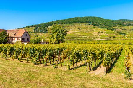 Grüne Weinberge in der Nähe des Dorfes Kaysersberg, Elsässer Weinstraße, Frankreich