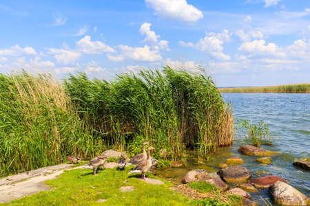 Duck birds in green grass in Popielno sailing port on Lake Sniardwy shore on summer sunny day, Masurian Lakes, Poland Zdjęcie Seryjne