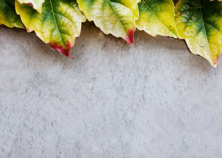 ivy wall: light concrete wall and colorful ivy leaves texture Stock Photo