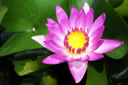 A Purple Lotus in pool                  photo
