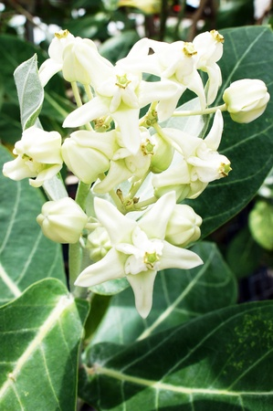 Crown flower                     Stock Photo - 14245369