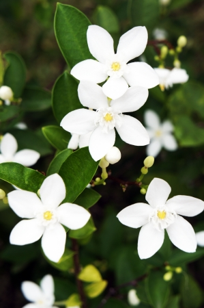 Jasminum Auriculatum                  Stock Photo