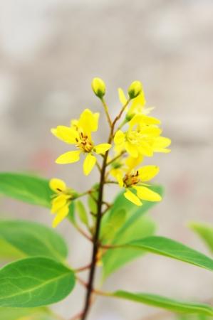 drought    resistant plant: Galphimia                  Stock Photo