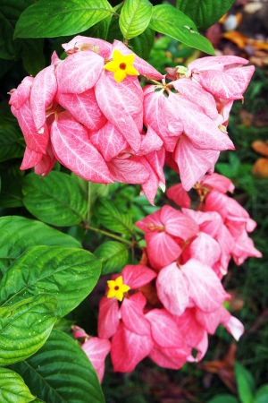 Pink Mussaenda flower                  Stock Photo
